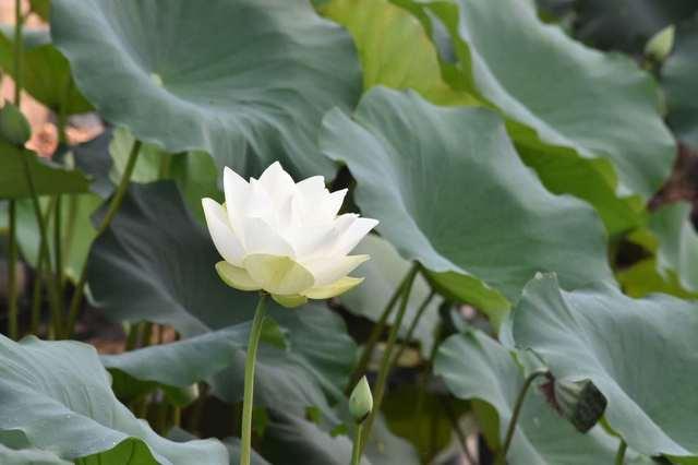 ハスの花④.jpg