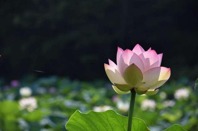 ハスの花⑥.jpg